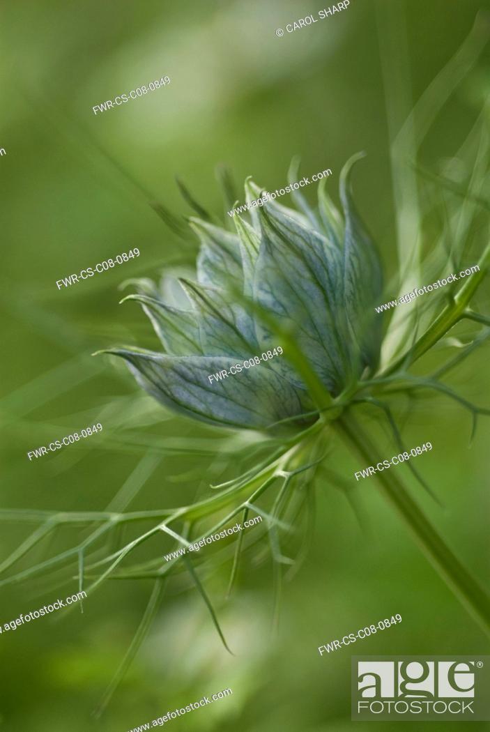 Stock Photo Love In A Mist Nigella Damascena Persian Jewels