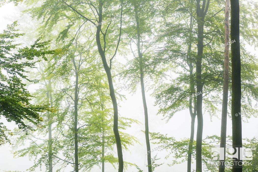 Stock Photo: Beech forest on misty morning, Autumn, Nature Park, Spessart, Bavaria, Germany, Europe.