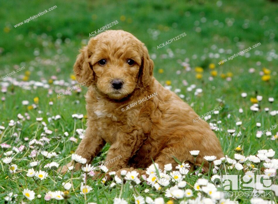 Photo de stock: Labradoodle Puppy sitting in field of flowers.