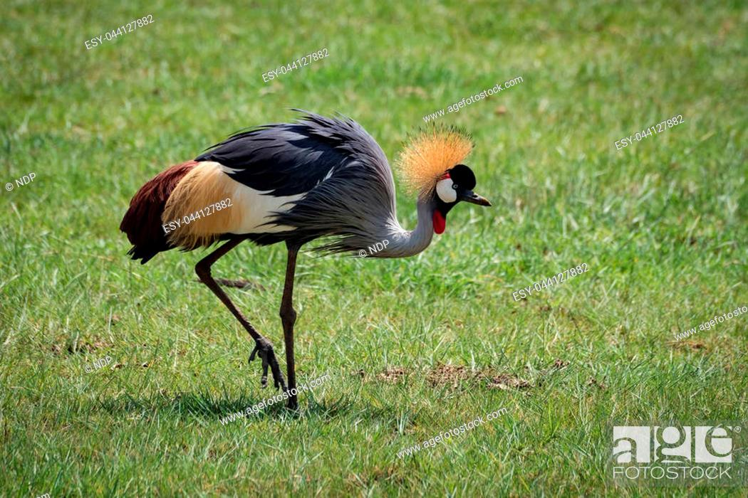 Stock Photo: Grey crowned crane lifts foot on grassland.
