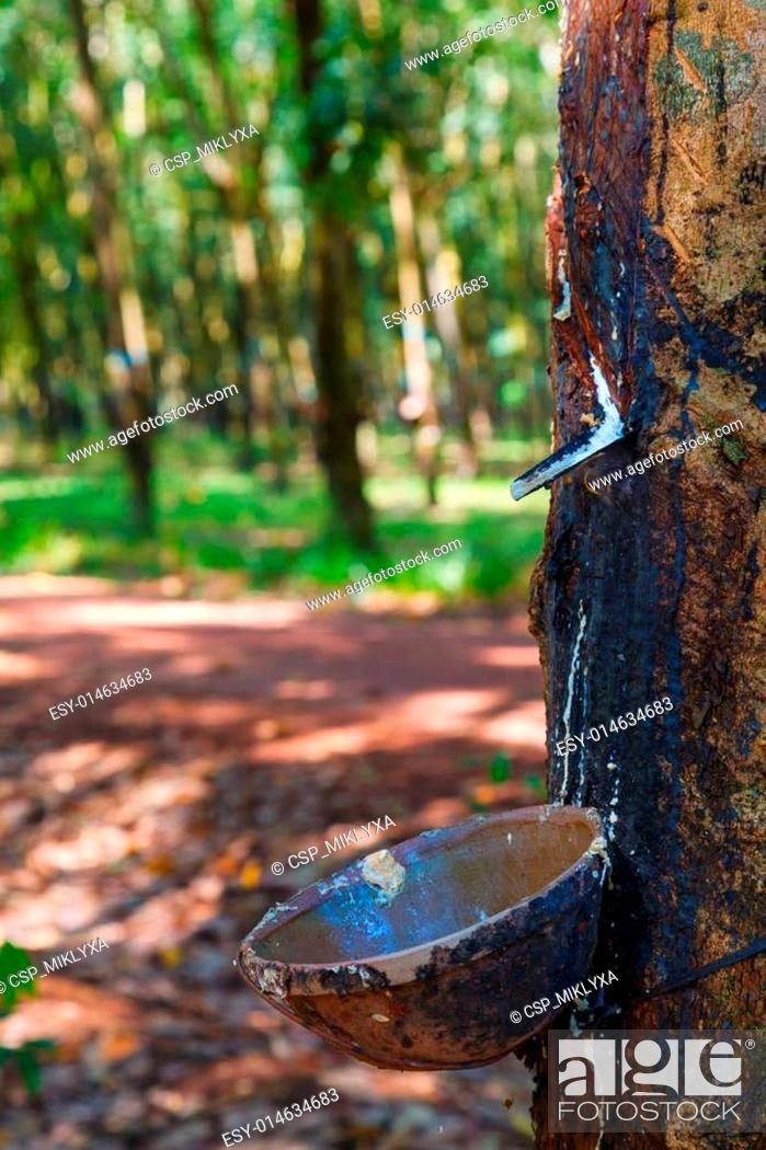 Stock Photo: plantations of rubber trees.