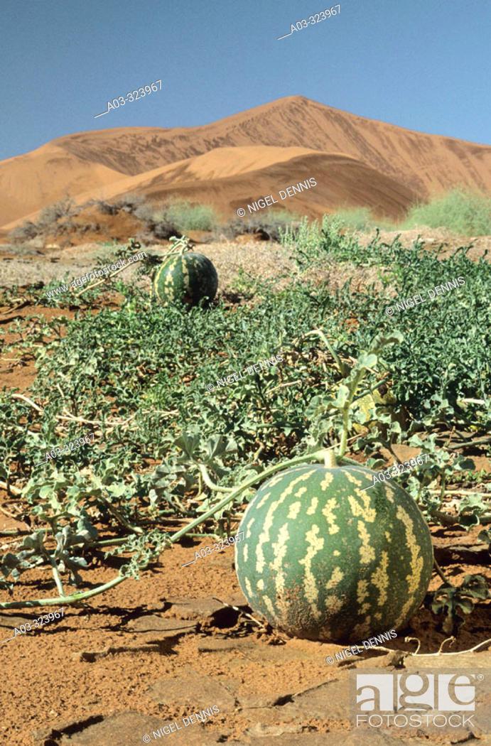 Stock Photo: Namib Scene, Tsamma melons, Citrullus ecirrhosus, Namib Naukluft Park, Namibia.