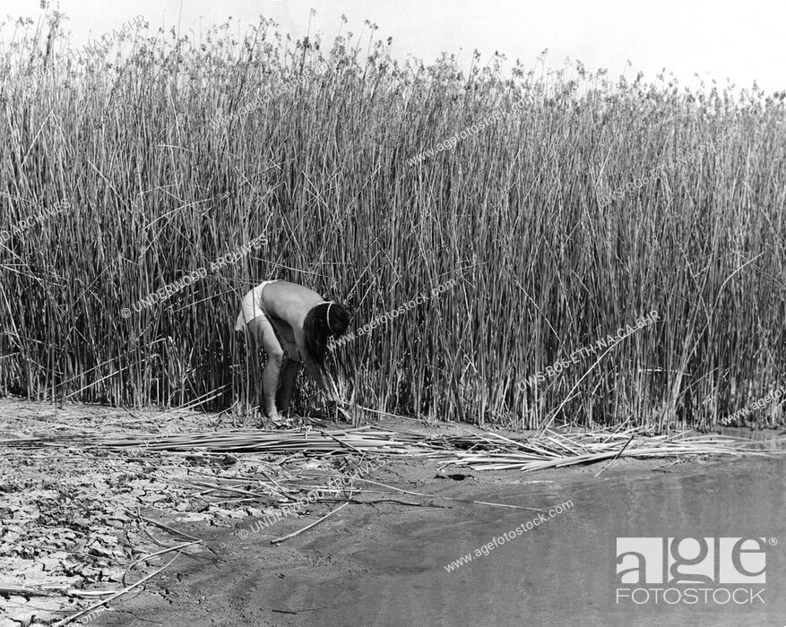 Stock Photo: California: c. 1930.The California Indians used the materials about them to build their houses. The Yokut tribes and several others cut the tules bulrushes that.