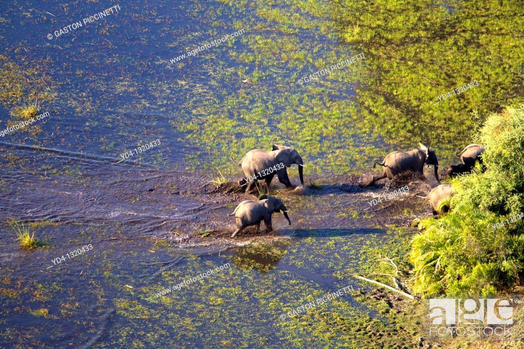 Stock Photo: African Elephants Loxodonta africana, crossing the water  Aerial View of the Okavango Delta, Botswana.
