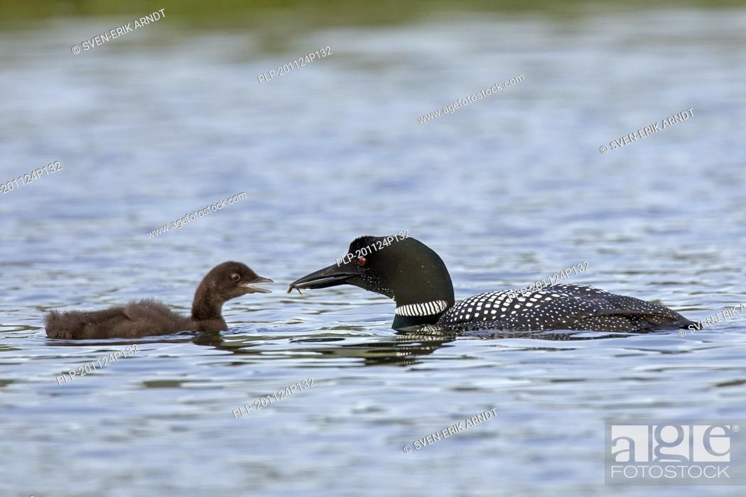 Imagen: Common loon / great northern diver (Gavia immer) parent in breeding plumage feeding fish to chick in lake in summer.