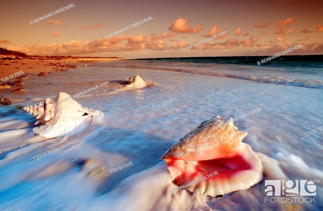 Stock Photo: Conch shells on a Beach of the Bahamas, Cat Island, Bahamas, Caribbean Sea.