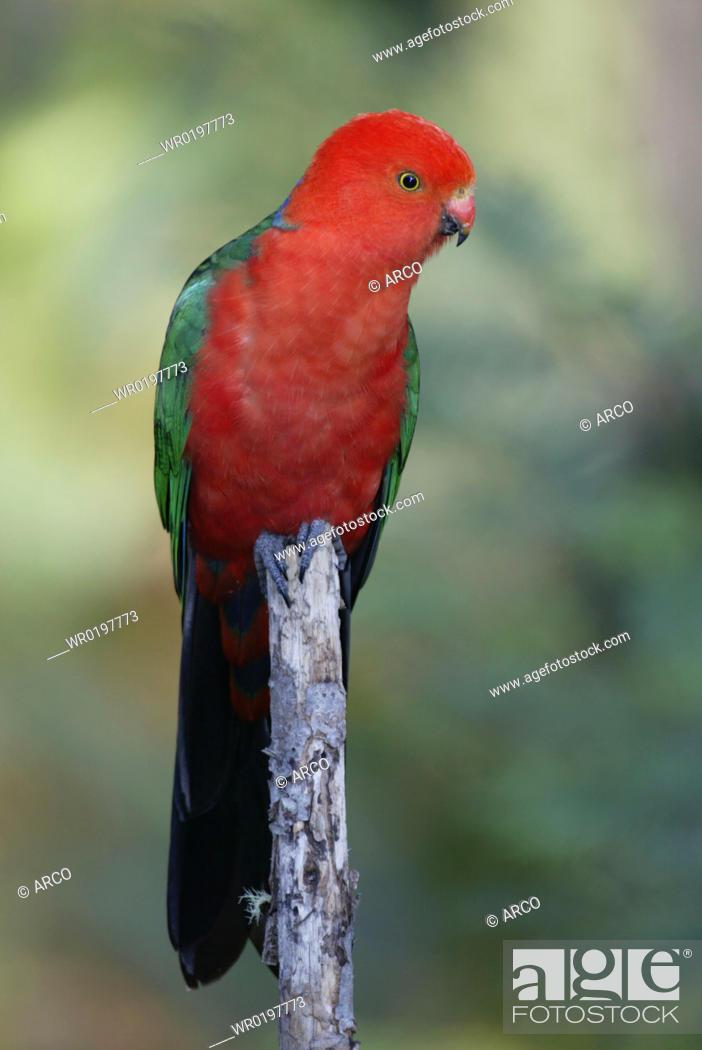 Stock Photo: Australian, King, Parrot, male, Australia, Alisterus, scapularis, scapularis.