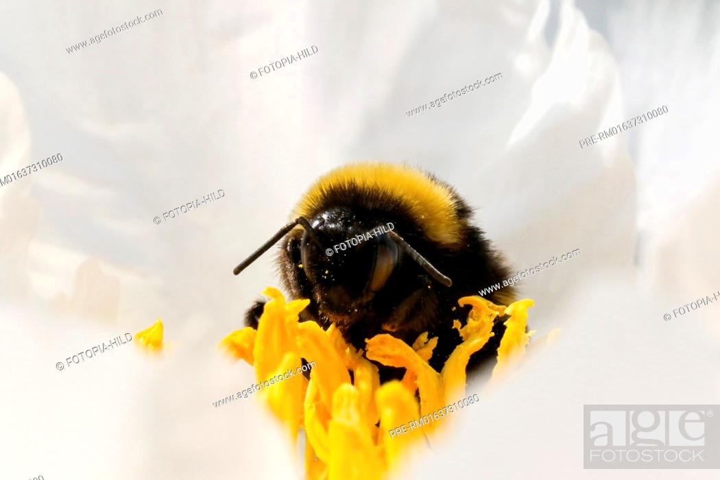 Stock Photo: Bumblebee (Bombus) sitting on peony blossom, Germany / Hummel (Bombus) auf einer Pfingstrosenblüte, Deutschland.