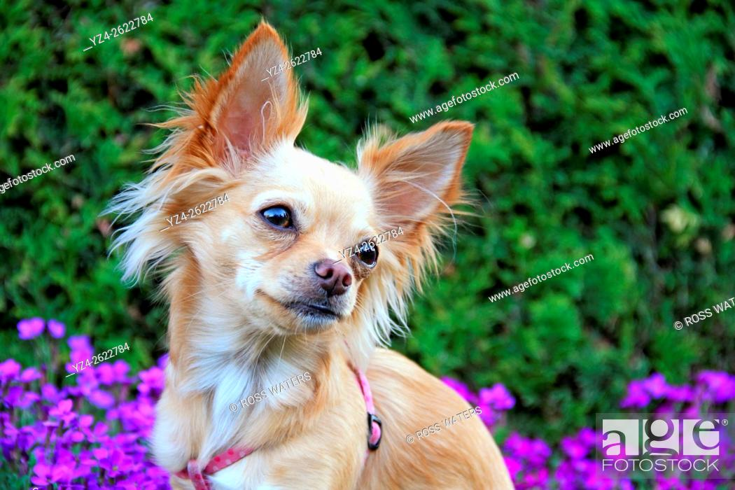 Stock Photo: A chihuahua outdoors in a garden.