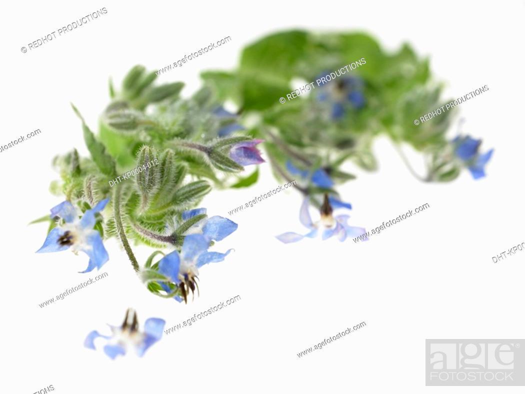 Stock Photo: Borage herbs.
