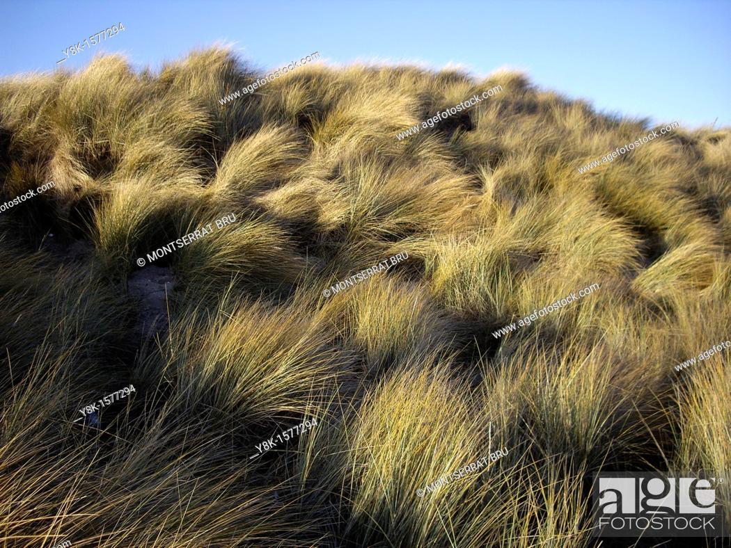 Stock Photo: Dunes grass.