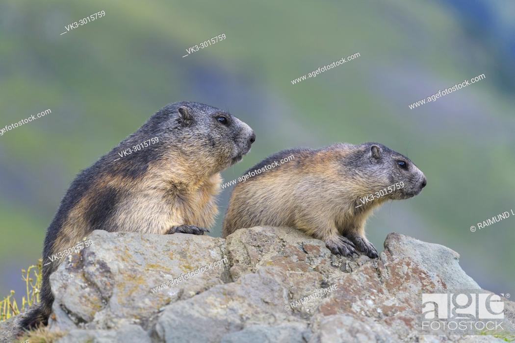 Stock Photo: Alpine Marmot, Marmota marmota, adult with young, Hohe Tauern National park, Austria.