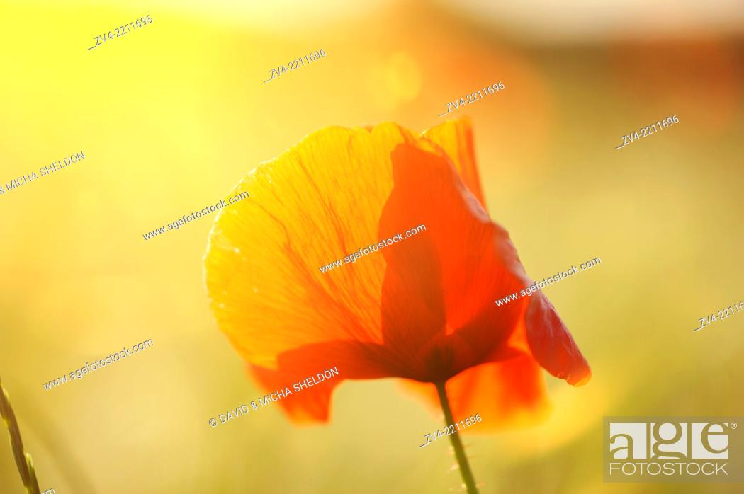 Stock Photo: Close-up of a Corn poppy (Papaver rhoeas) in a corn field in summer.