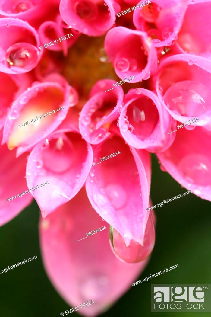 Stock Photo: Water drops on Dahlia (Dahlia hybr.).
