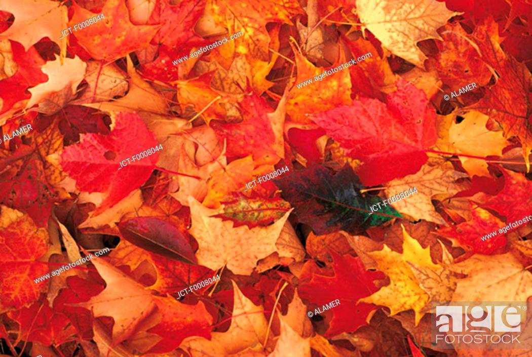 Stock Photo: Canada, New Scotland, maple leaves in autumn.