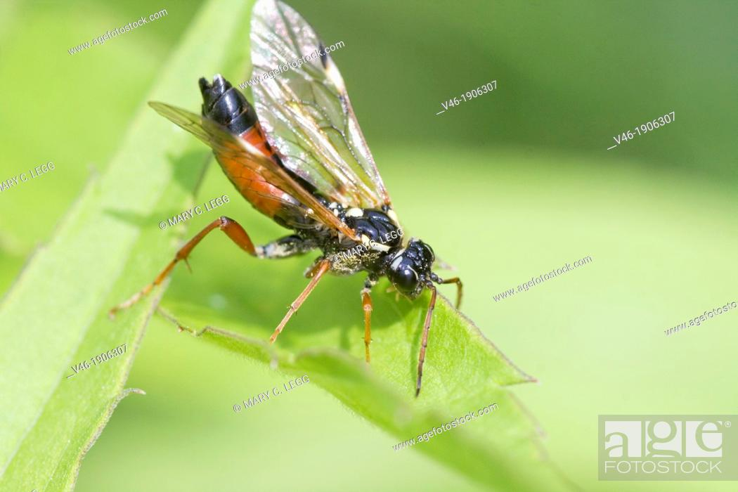 Stock Photo: Sawfly, Tenthredo sp  Tenthredo atra closest identification found  Sawfly with red legs, long antennae  Abdomen is bi-colored.