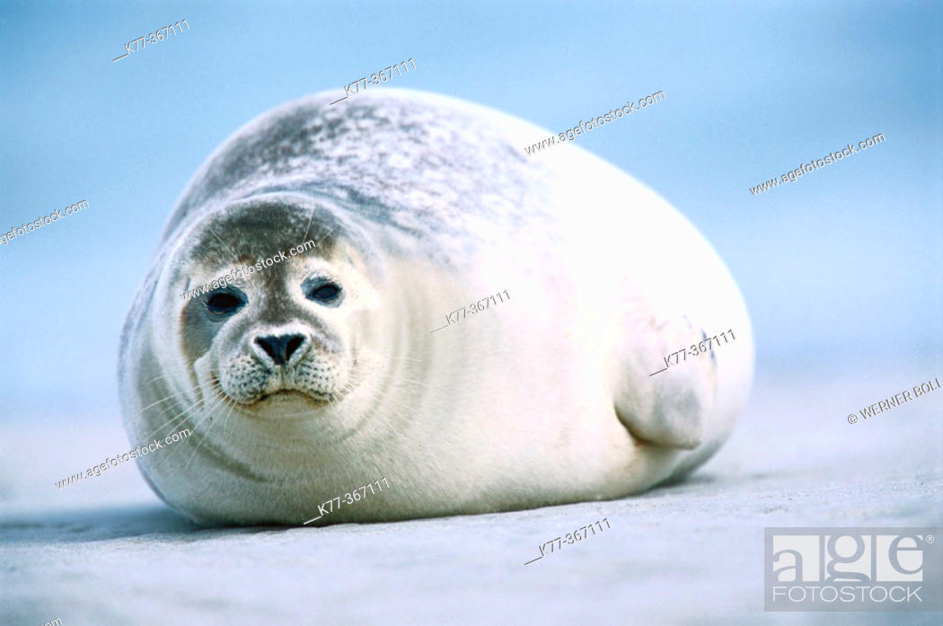 Stock Photo: Harbour seal (Phoca vitulina). Island of Helgoland. Germany.