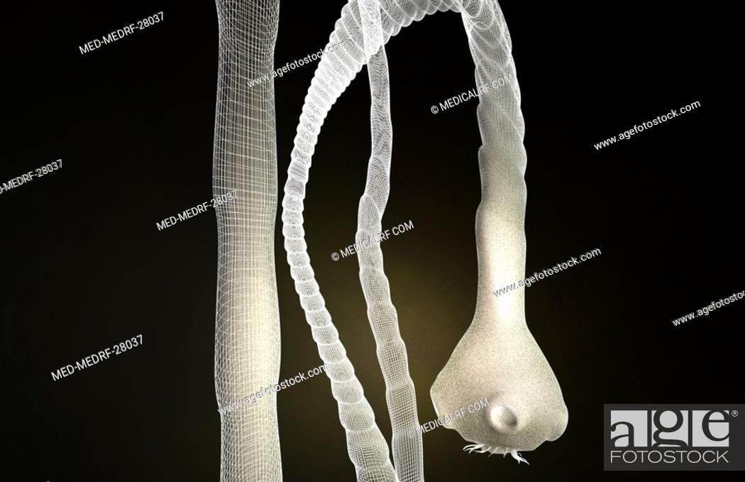 Stock Photo: Tapeworm.