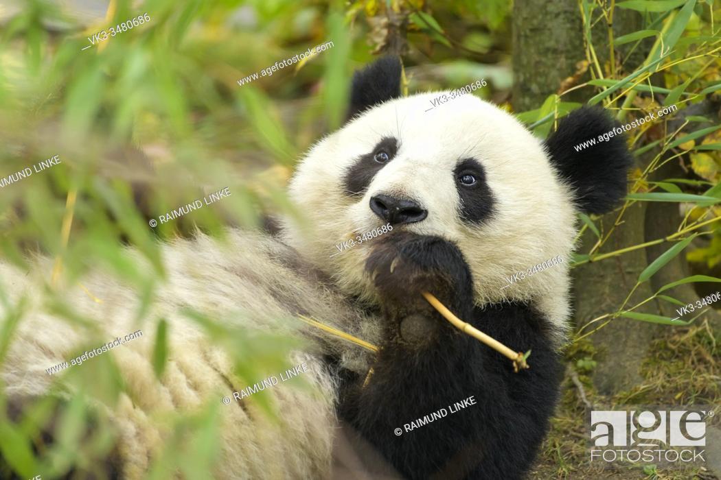 Photo de stock: Giant Panda, ailuropoda melanoleuca.