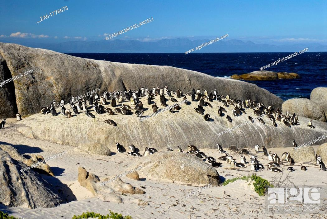 Imagen: African penguins Spheniscus demersus, at Boulder's Beach, South Africa.