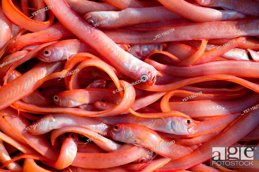 Stock Photo: Red bandfish, Cepola macrophthalma is a bandfish of the family Cepolidae. It is found in the eastern Atlantic and Mediterranean from Senegal north to Norway.