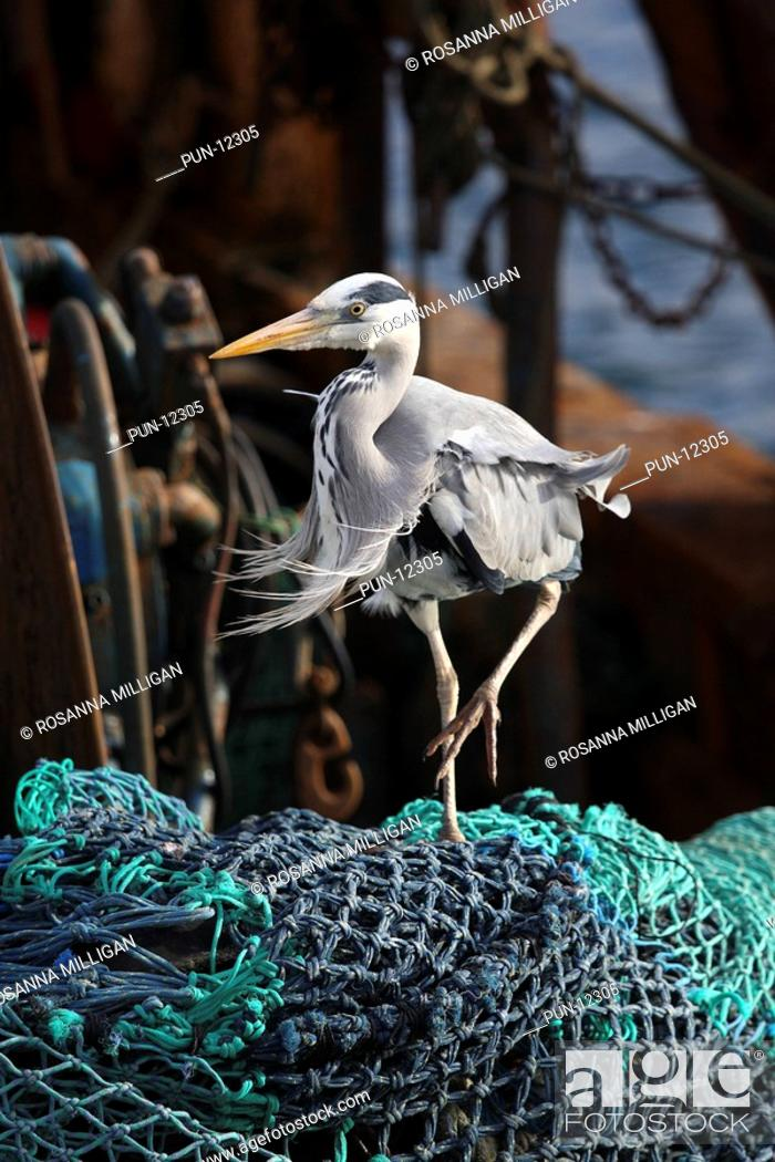 Stock Photo: A grey heron Ardea cinerea stalking across the fishing nets on the back of a trawler, looking for any leftover fish to scavenge.