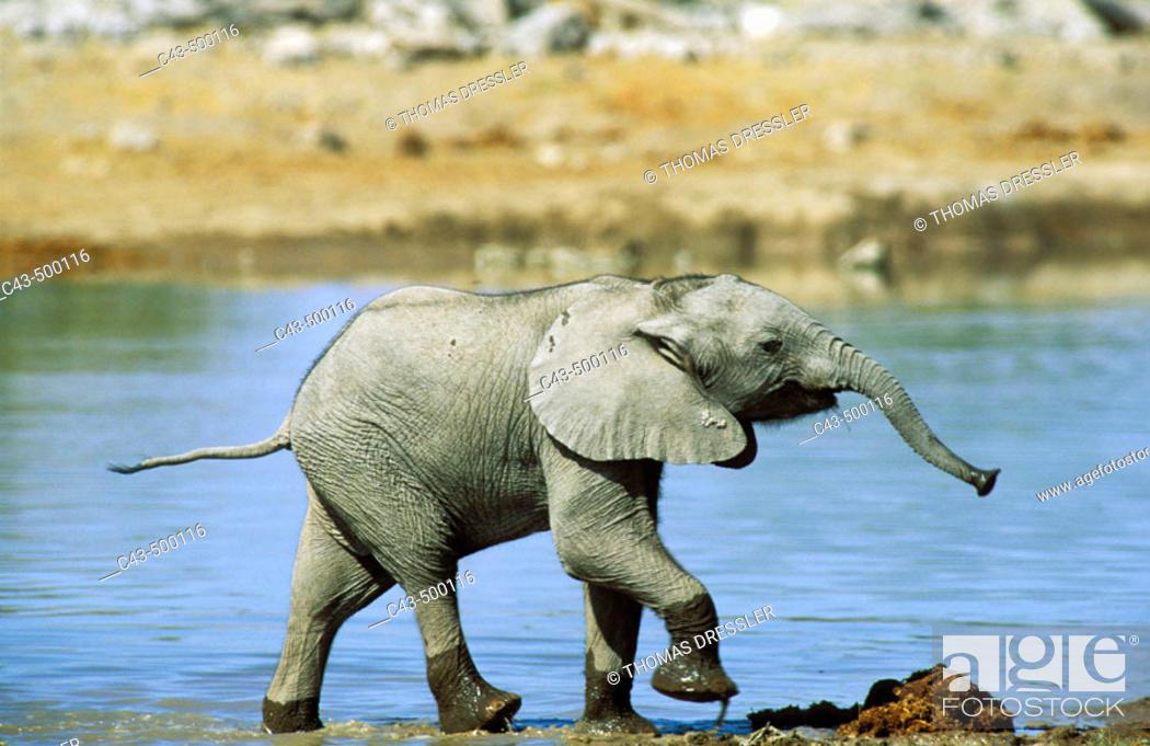 Stock Photo: African Elephant (Loxodonta africana); calf having fun at a waterhole. Etosha National Park, Namibia.