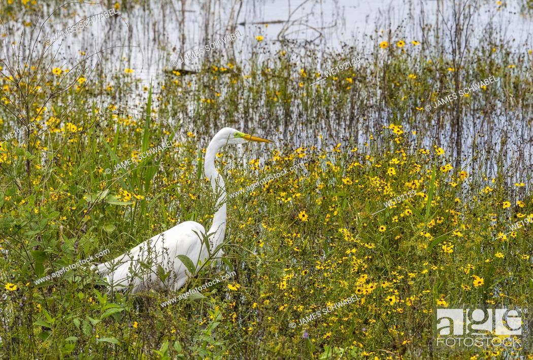 Imagen: Egret amound wildflowers in Myakka River State Park in Sarasota Florida in the United States.