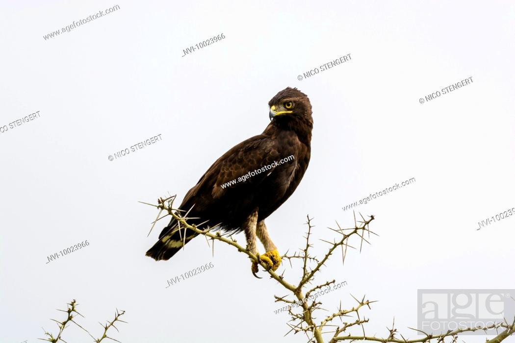 Stock Photo: Long-crested eagle (Lophaetus occipitalis), Queen Elizabeth National Park, Uganda, Africa.