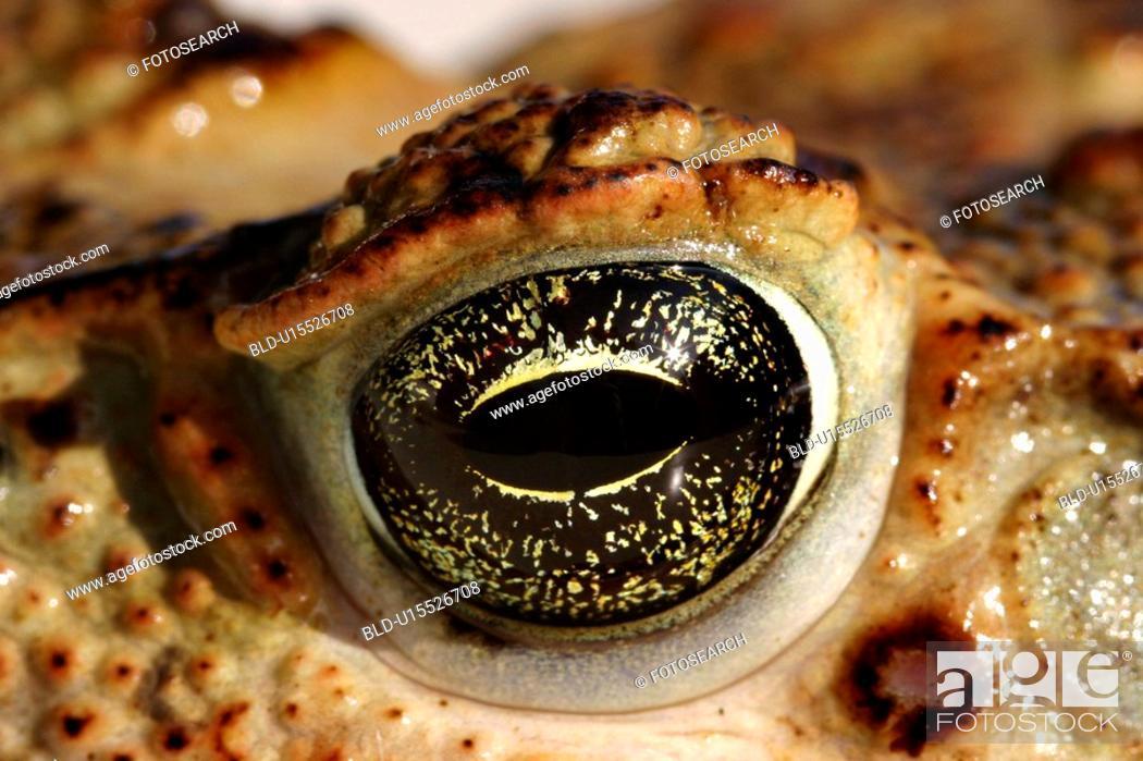 Stock Photo: close-up, animals, CLOSE, bufonidae, brown, alfred.