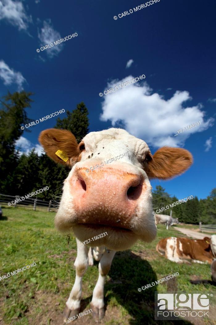 Stock Photo: Cow in South Tyrol mountains, Bolzano, Italy.