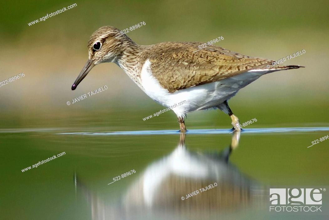 Stock Photo: Common Sandpiper (Actitis hypoleucos).