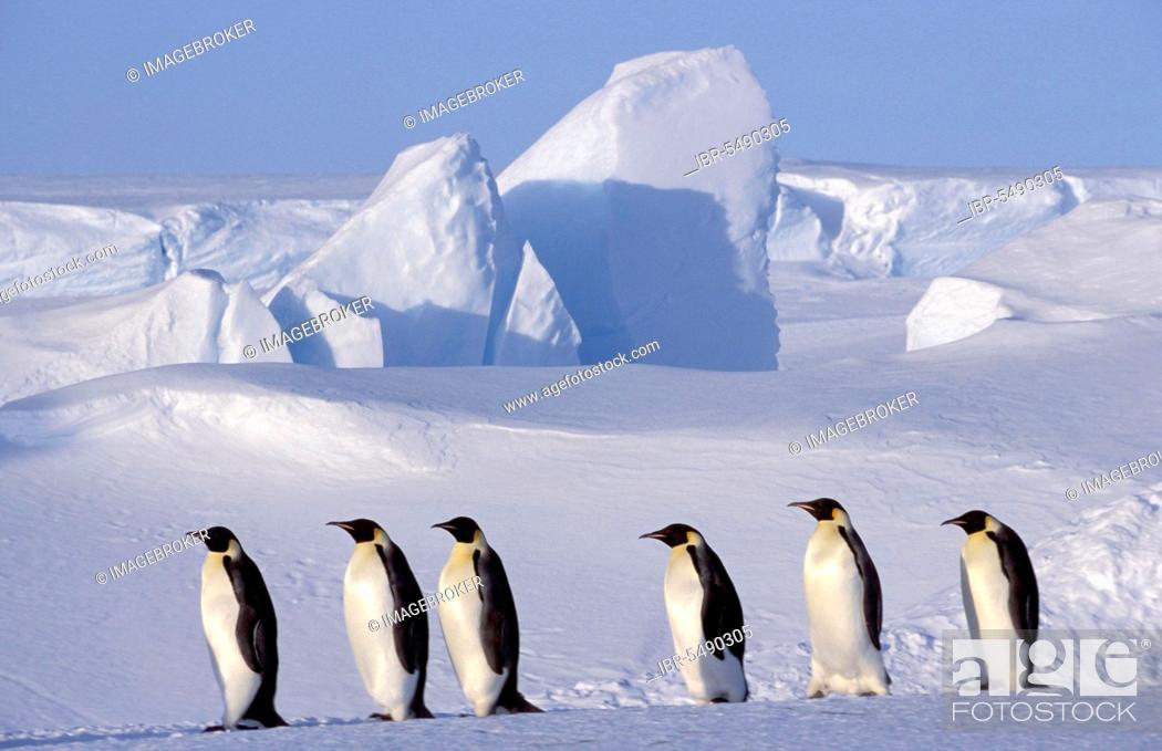 Stock Photo: Emperor penguins (Aptenodytes forsteri), Dawson Lambton Glacier, portfolio-penguins, Antarctica.