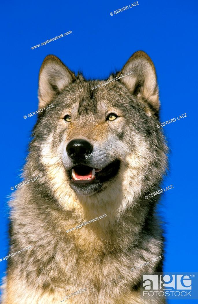 Stock Photo: North American Grey Wolf, canis lupus occidentalis, Portrait of Adult, Canada.