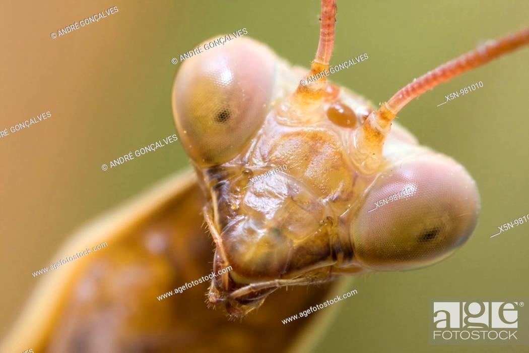 Stock Photo: Mantis Portrait, Portugal.