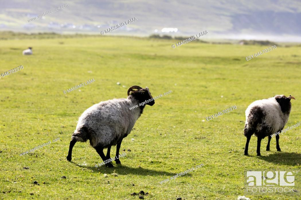 Stock Photo: Group of sheep grazing on meadow in Ireland.