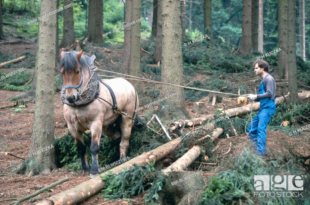 workhorse Equus przewalskii f  caballus, with lumberman