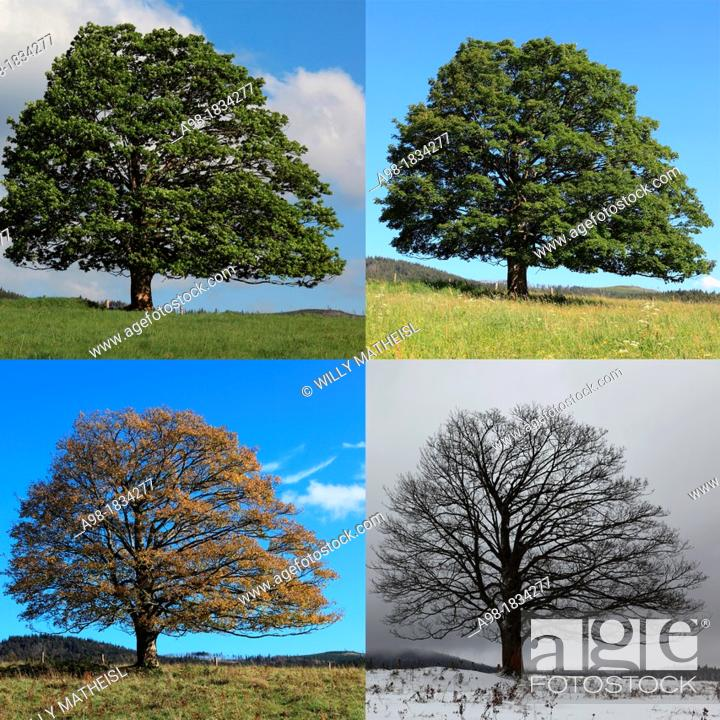 Imagen: digital Composite of four seasons of a Single Sycamore Maple Tree on meadow, Sumava National Park, Bohemia, Czech Republic, Europe.