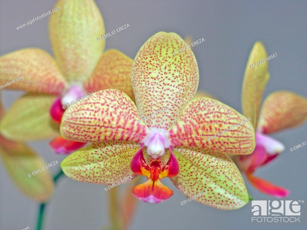 Stock Photo: Orchid Phalaenopsis sp.