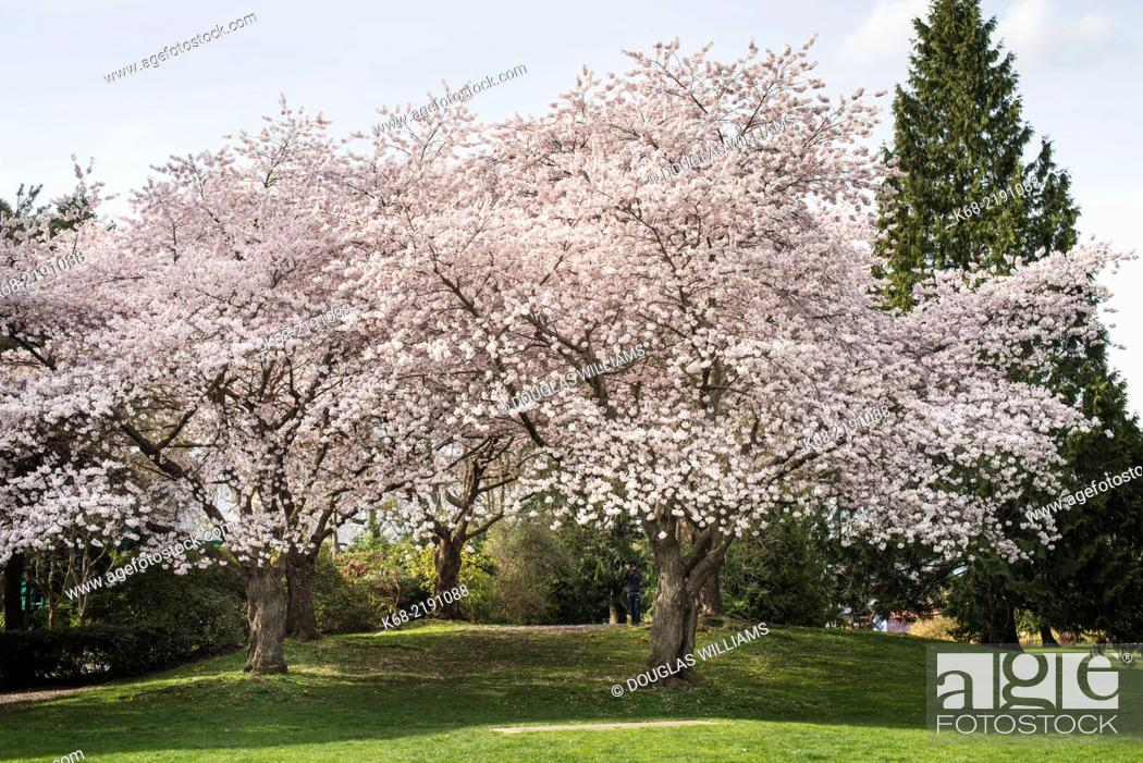 Imagen: cherry trees in spring near Granville Island, Vancouver, BC, Canada.