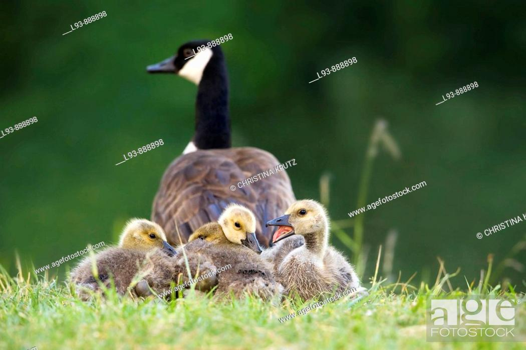 Stock Photo: Canada Geese (Branta canadensis).