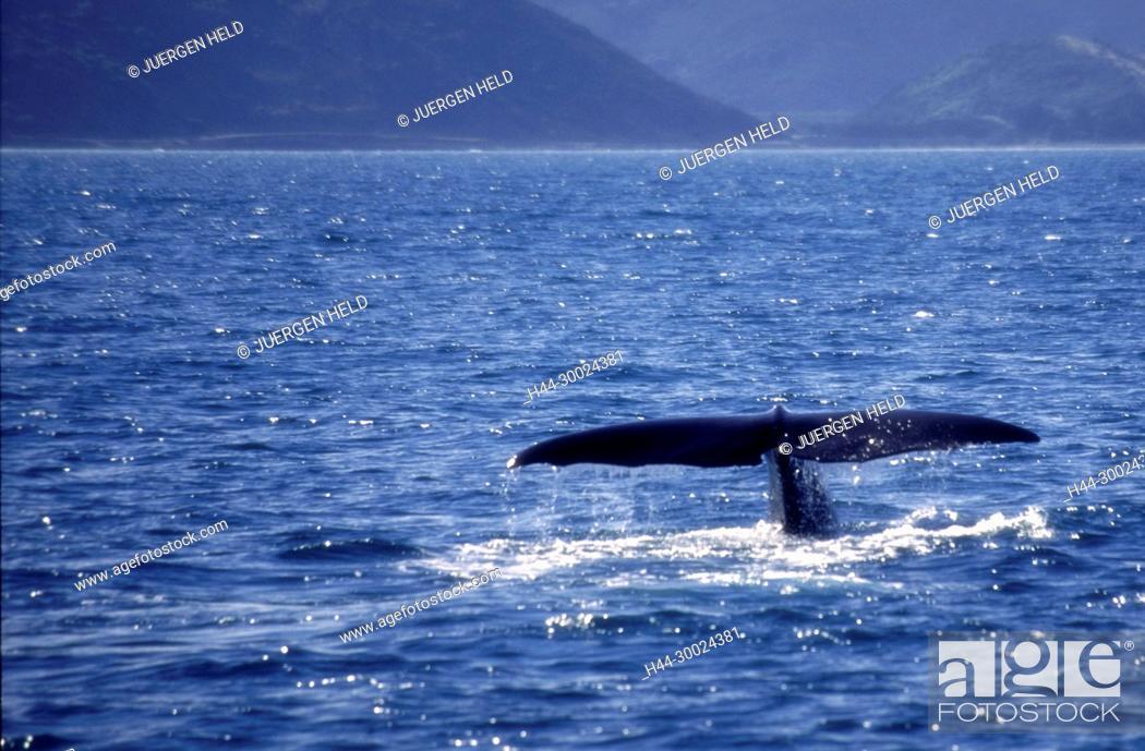 Stock Photo: Neuseeland Suedinsel Kaikoura, Walbeobachtung, Schwanzflosse | south island Kaikoura Marlborough whale watching ,.