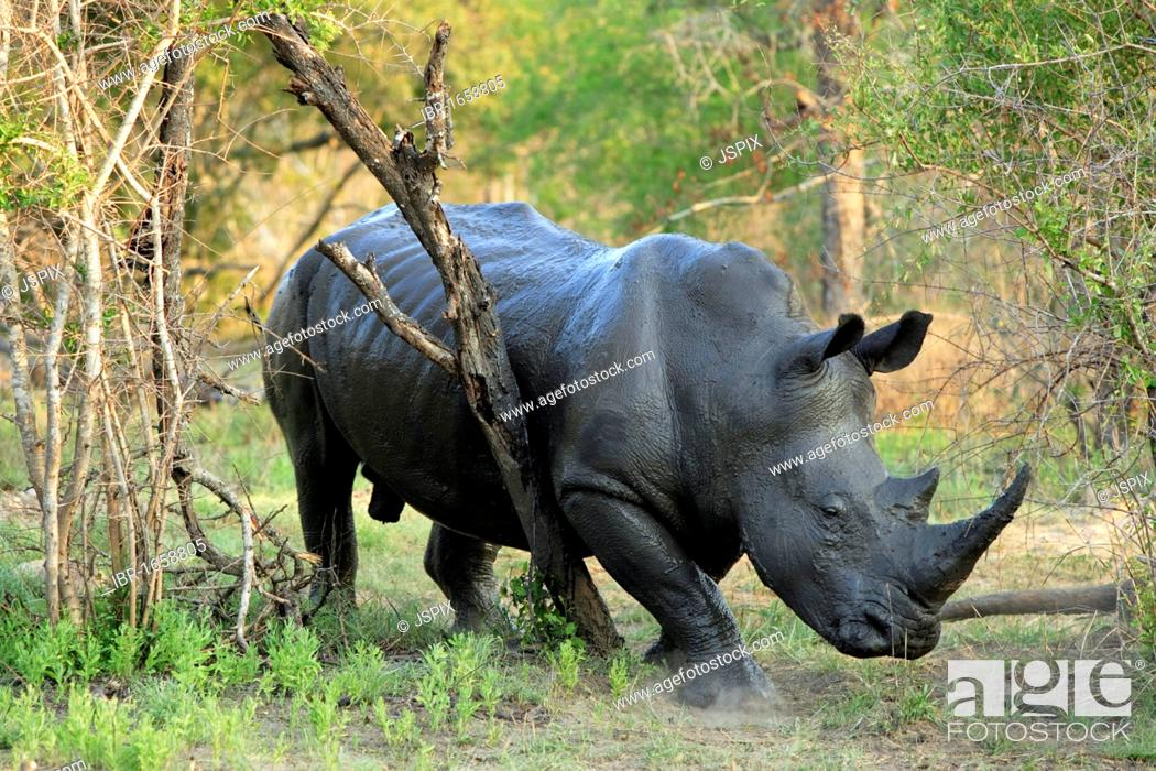 Stock Photo: White Rhinoceros or Square-lipped rhinoceros (Ceratotherium simum), male adult rubbing on a tree, Sabisabi Private Game Reserve, Kruger National Park.