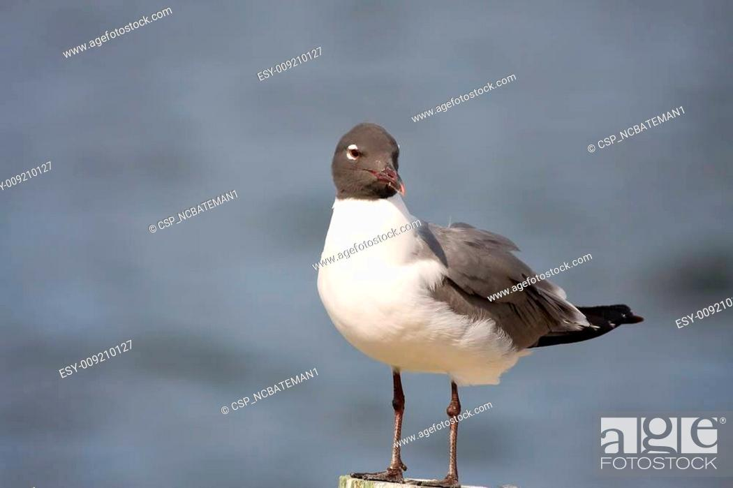 Stock Photo: A Laughing Gull preening on a piling.
