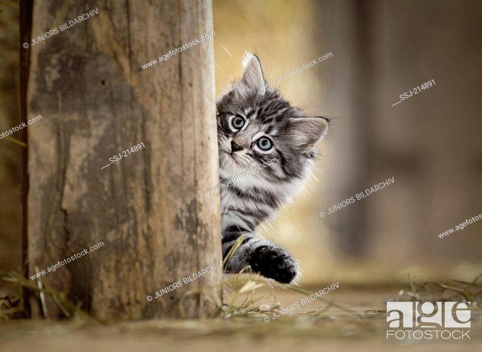 Stock Photo: Norwegian Forest Cat. Kitten looking out from behind a wooden beam in a barn. Germany.