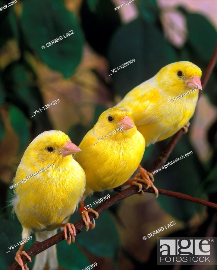 Stock Photo: Yellow Canaries, serinus canaria, Adults standing on Branch.
