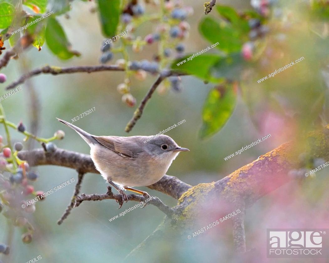 Photo de stock: Subalpine Warbler (Sylvia cantillans), Greece.