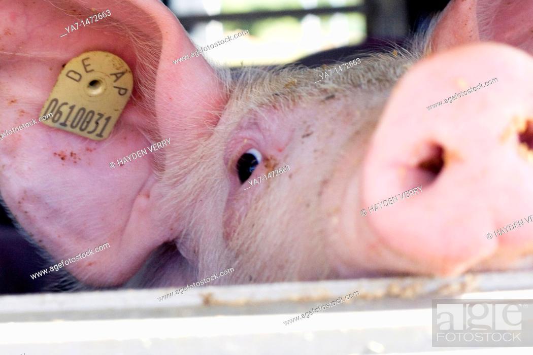Stock Photo: Pigs Transport Europe.