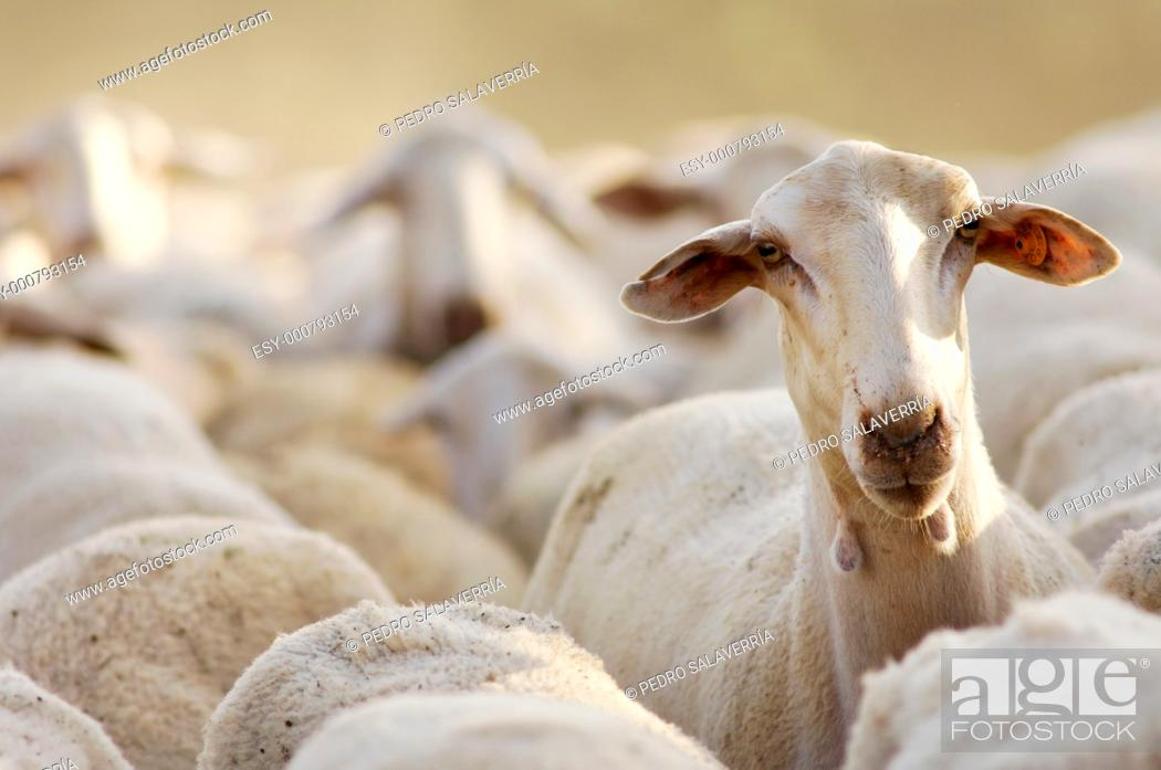 Stock Photo: sheep standing out among the herd.