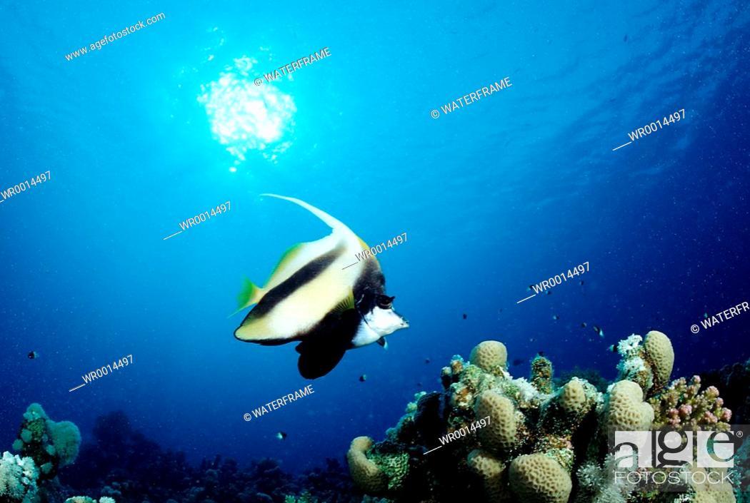 Stock Photo: Butterflyfish, Heniochus intermedius, Hurghada, Red Sea, Egypt.